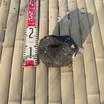 浅間石(10cm)